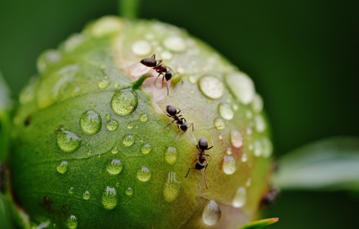 Common Types of House Ants