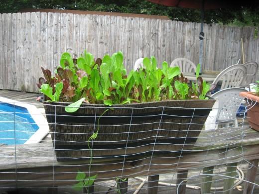 Lettuces growing in my deck garden.