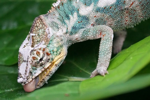 In their natural environment, chameleons lap up    drops of rain and dew that they find on leaves.