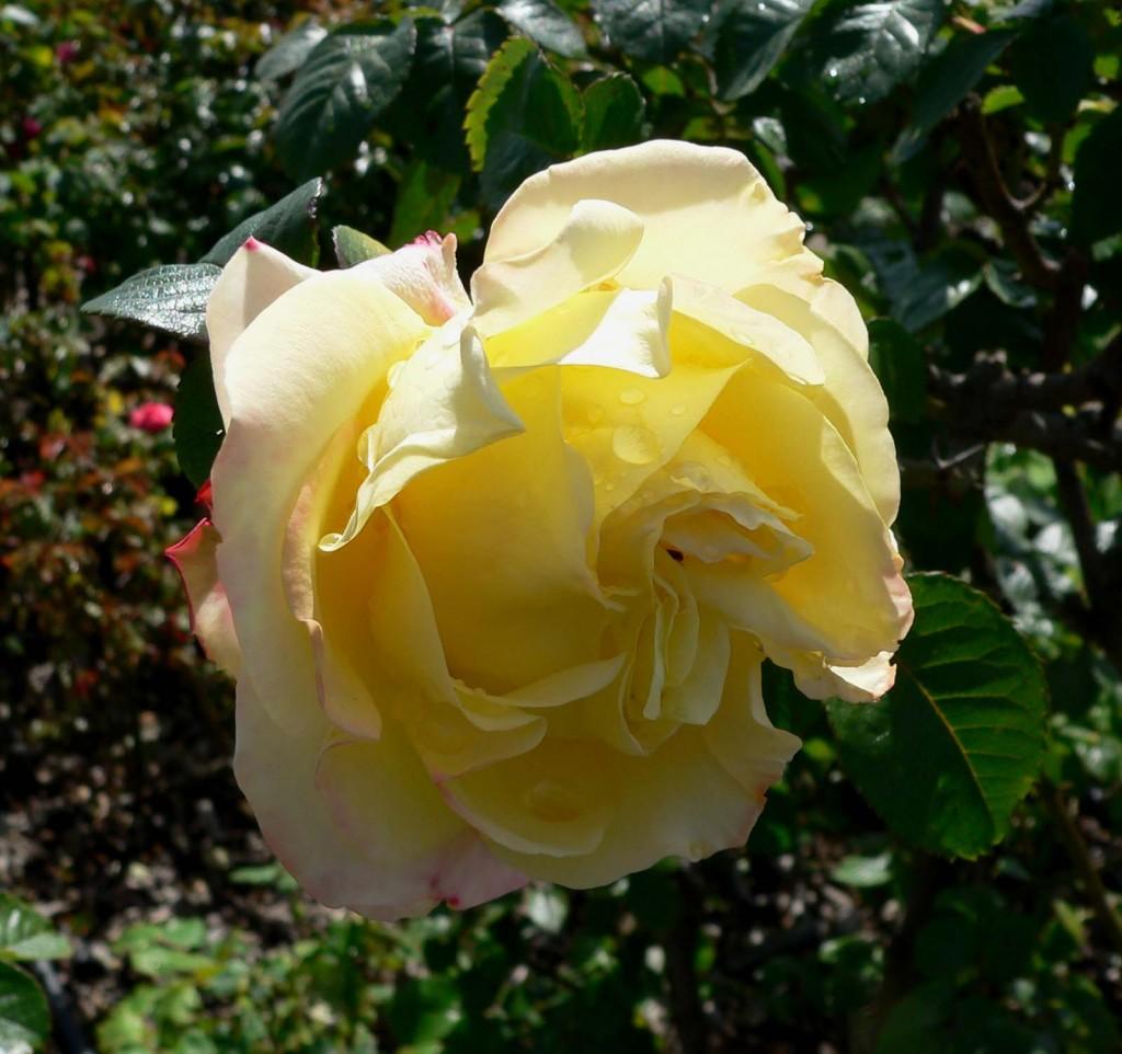 Miniature Rose Bush Indoor Care Dengarden