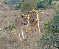 Searching for the Big Five in South Africa - the Cats