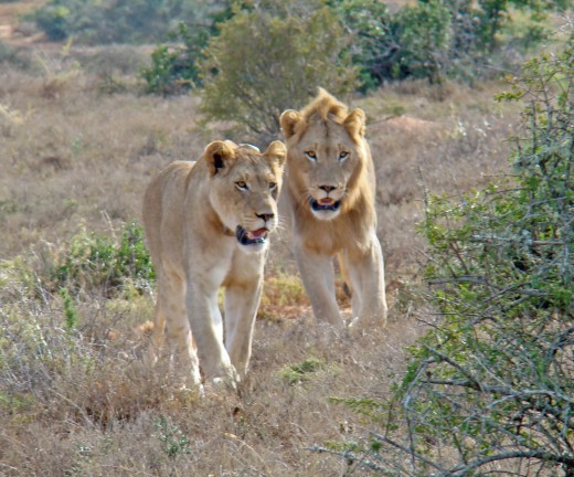 Lions in Addo Elephant Park