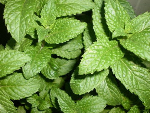 Muddled mint is added to a variety of drinks, such as mojitos and juleps.