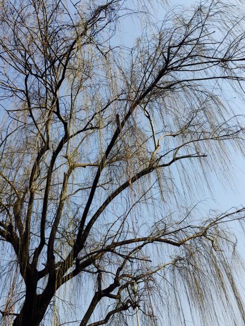Willowy Tree