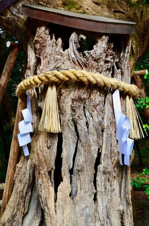 Holy Tree at Shimogamo Shrine