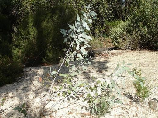 Eucalyptus cretata in Melbourne, Australia (this photo is in the public domain)