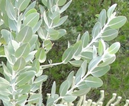 Eucalyptus tetragona in Australia - this photo is in the public domain