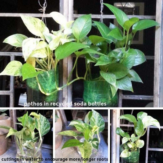 Pothos are quite easy to propagate as cuttings and they look great in hanging plastic bottle planters