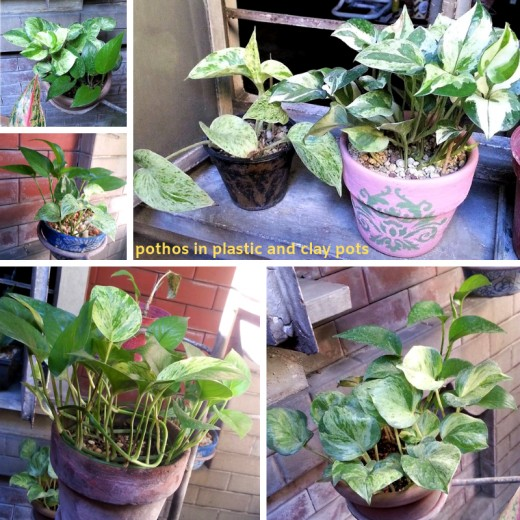My propagations of Variegated Pothos
