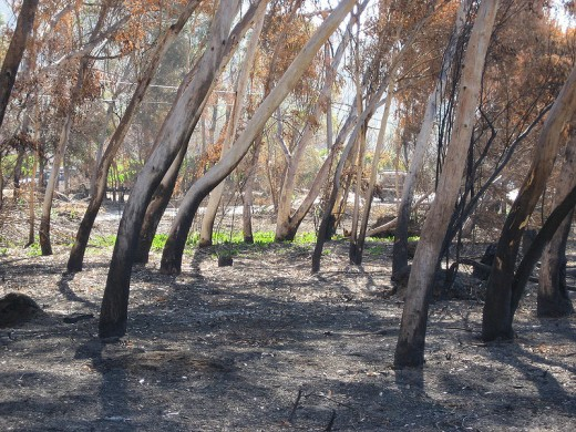 Eucalyptus trees damaged by fire in San Diego, 2007. Image is in the public domain.