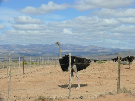 Ostriches in Karoo, South Africa.
