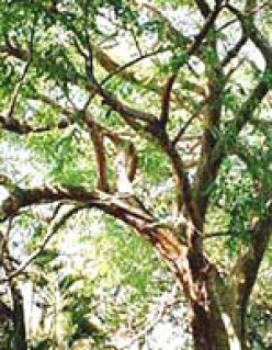 Rosewood Oil: Health Benefits of Essential Oil of the Rosewood Tree
