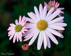 Shasta Daisy by rapalm on flickr