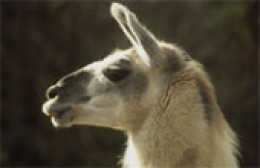 The Llama, a symbol of the Andes and Peru! | HubPages