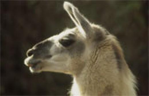 The proud llama!