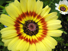 Painted Daisy by photogirl7 on flickr