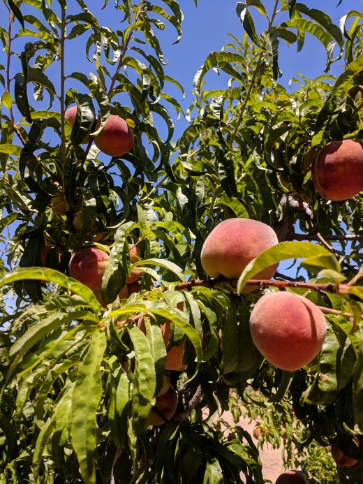 Fruits have been a popular food source for people since prehistoric times