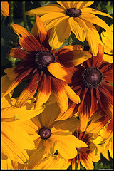 Gloriosa Daisy by IONclad on flickr
