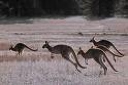 Roos on the move.  credit howstuffworks.com