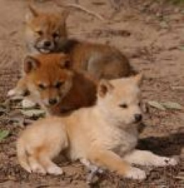 Dingo pups in conservation care  dingoconservation.com credit