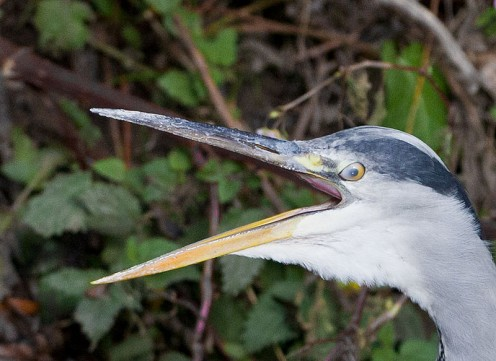 Grey Herron commonly-known as a loud mouth.