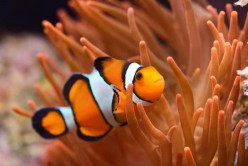Interesting Fun Facts About Clownfish