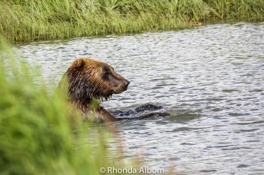 A brown bear taking a swim.