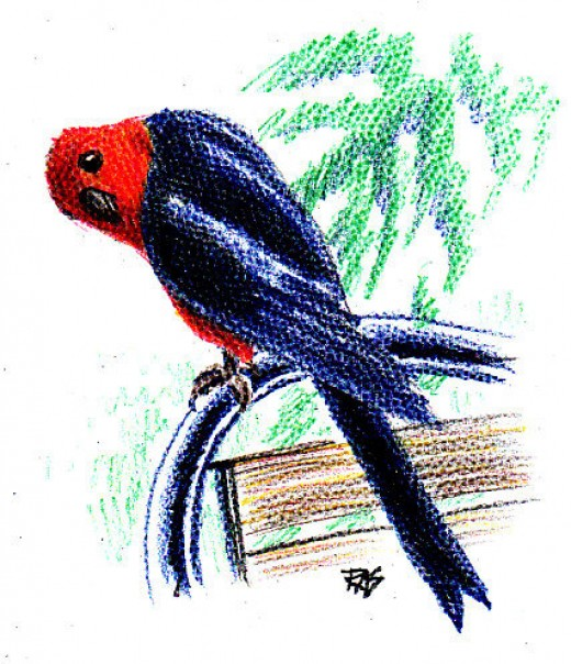 King Parrot drawn with Coloursoft colored pencils on paper, from photo reference by crispur2005 on WetCanvas.com. It's comfortable on the back of a lawn chair. You need a good seat that's comfy for who you are, good lighting and every physical comfor