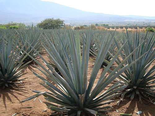Blue agave plants - Photo by jay8085 on Flickr.com under Creative Commons License