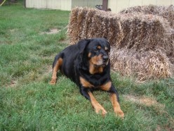 House Training Your Rottweiler