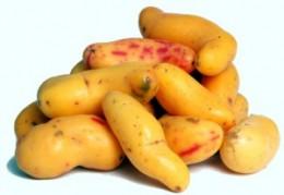 The Peruvian root olluco, or papa lisa