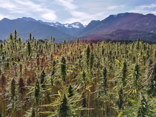 Cannabis Fields as far as the eye can see.
