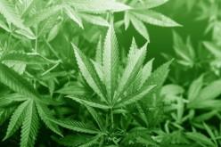 Study on Marijuana
