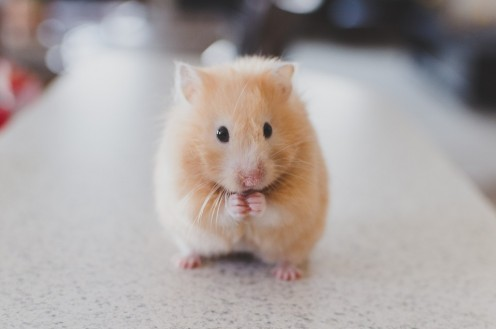 5 Reasons Not to Have a Pet Hamster