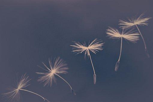 Dandelion umbrellas