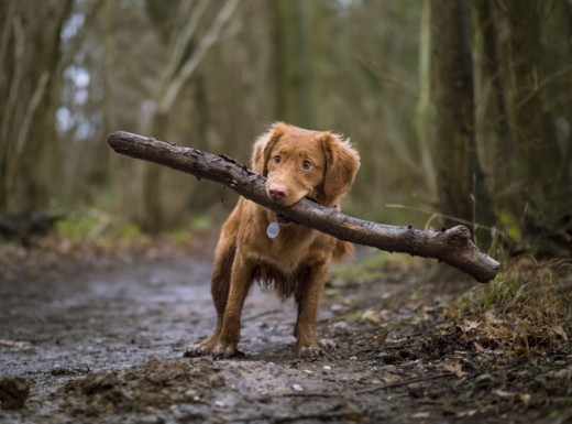 A dog carrying wood
