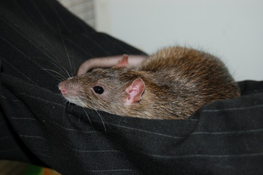 Rats love their hammocks just as much as we do!