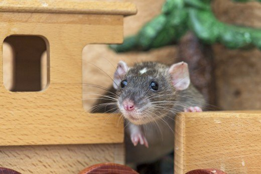 Natural, untreated, non-toxic wood is a great material for rat hiding places.