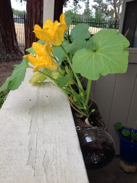 My balcony zucchini