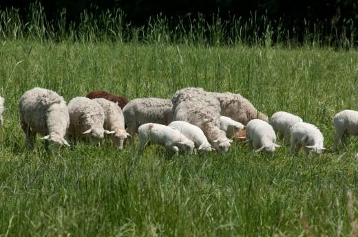 Earning income through sheep farming