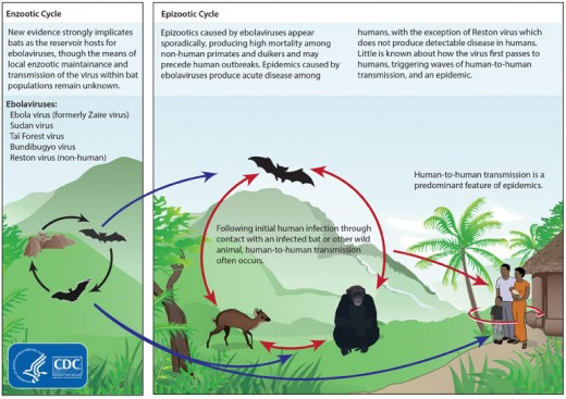 This CDC graphic shows how ebola can spread from animals to humans.