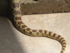A Sidewinder on the Patio