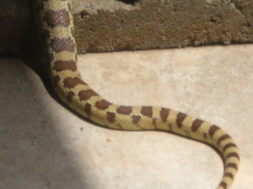 Gopher Snake resting on our patio.