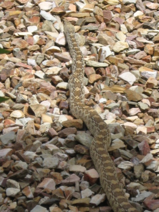 This is one long gopher snake (Pituophis catenifer)