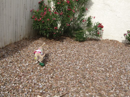 Chica wisely avoids venturing into the oleander bush where the snake was last seen.
