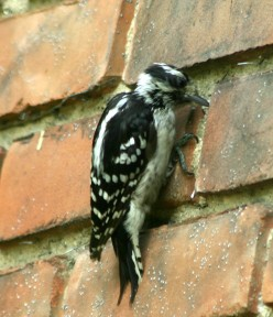 Downy Woodpecker   deedsphotos