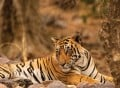 Royal Bengal Tiger Conservation