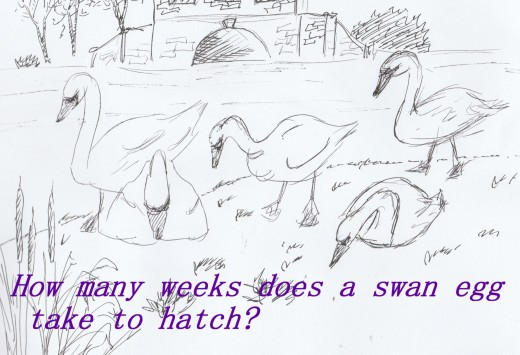 Swans in Birkenhead Park, Wirral, England, sketched by Adele Cosgrove-Bray in 2019.
