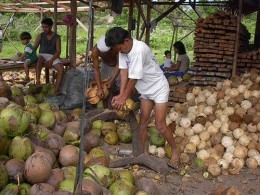 image: TropicalTraditions.com Fair Trade Farmers dehusking Coconuts.