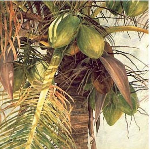 coconuts growing